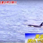 東京湾に群れで泳ぐシャチ 海保が船舶に注意を呼び掛け 2015年5月27日