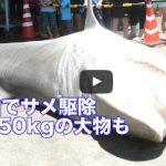 八重山でサメ駆除 推定550kgの大物も 2015/07/30  沖縄タイムス公式動画チャンネルより
