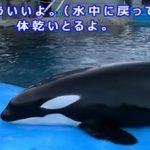 シャチのリラックスタイム  名古屋港水族館 2015/08/23 に公開