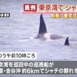 """""""珍景""""発見 東京湾に「シャチが泳いでる」2015年5月25日"""