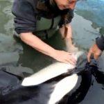 保護されていた子シャチ死亡 ニュージーランド