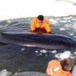 子どものシャチも含めて4頭が流氷に閉じ込められる 救出作戦進行中 ロシア 樺太