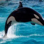 少し大きくなってた シャチのラン 名前の由来、現在の体長5m、体重1,650Kg 鴨川シーワールド