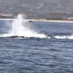 [閲覧注意] クジラの親子に襲いかかるシャチの群れ ホエール・ウォッチング中にまたも・・・ アメリカ モントレー湾