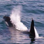 羅臼沖には現在40頭以上のシャチが遊泳 北海道