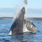 シャチがウミガメを投げ飛ばす ガラパゴス諸島