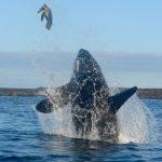 【続報】シャチ「あーそーぼ♪」 ウミガメ「あーれー!?」 目撃者の後日談 ガラパゴス諸島