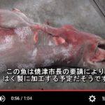 サタハピしずおかに出た 深海漁船 長兼丸 長谷川氏捕獲の 巨大ミツクリザメ 焼津市長の要請で 剥製予定