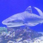 駿河湾でイタチザメ捕獲、 2016年1月8日展示開始 存命で展示は同館初 伊豆・三津シーパラダイス