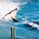 シャチが泳ぎながら尾ビレで観客席に水を浴びせかける「スイミングバースト」 2016年6月の土・日限定開催 鴨川シーワールド