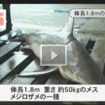 鹿児島県【動画】錦江湾 サメが釣れた 2015年8月18日午後4時前