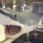 世界最大級の東京湾のホホジロザメ 現在は剥製に