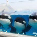 シャチのルーナ、ラン、ララ、ラビーみんな勢揃い! ファイスブック「いいね!」10,000件達成記念写真! 鴨川シーワールド
