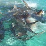 クジラの死骸に群がる無数のイタチザメの映像 オーストラリア