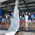 体重500kg超のイタチザメ3匹を含む合計109匹 2日間のサメ駆除にて