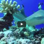 サメのツマグロ ポリネシア モーレア島