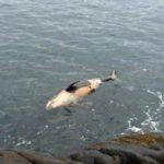 体長約2.1mのメス 幼い子どものシャチの死骸が発見される カナダ ブリティッシュコロンビア州 スークの海岸沖 2016年3月25日