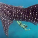 サメの保護PRのためジンベエザメと泳ぐ美女 フィリピン