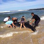 ジンベエザメの子どもを救出 南アフリカ