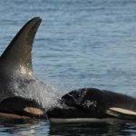 死因不明の子シャチ カナダのトフィーノ近くで見つかる CANADIAN PRESS 2015年12月31日