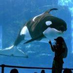 名古屋港水族館 2015年10月1日より2種類のシャチ新イベントがスタートしています!