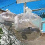 [衝撃]シャチが袋に入ってる! アメリカ シーワールド 2015年11月10日
