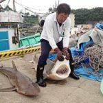 サメ北上し漁業被害 鳥取県沖でサメ2匹捕獲