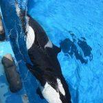 シャチのステラ 新技で凄い能力が判明 名古屋港水族館