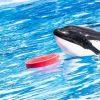 シャチのティリクム 気力と食欲が改善の方向へ シーワールドがHPで2016年3月19日に発表