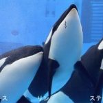 アース、リン、ステラの3ショットがホーム画面に登場&「飼育員が簡単授業これであなたもシャチマスター」の開催時間変更のお知らせ 2015年12月16日更新より 名古屋港水族館