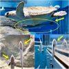 コバンザメがジンベエザメに嫌われて別居 大阪・海遊館