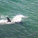 シュモクザメが猛スピードで獲物を捕獲する映像 トリニダード・トバゴ