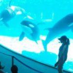 シャチの生態を紹介 名港水族館で飼育員、動きに合わせ解説  2015年10月21日