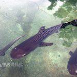 イタチザメのお腹から子ザメを救出 台湾