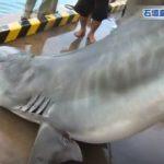 石垣島でのサメ駆除の映像 沖縄