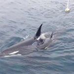 [動画] シャチの子供にハプニング発生(2015年北海道) 観光船はまなす