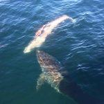 体長約5.5mの巨大ホホジロザメがミンククジラを食べていた アメリカ ノースカロライナ