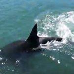シャチの群れが岸近くを通り過ぎる映像 カナダ ブリティッシュ・コロンビア州