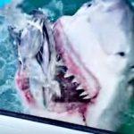【大迫力】 ホホジロザメの餌付け映像