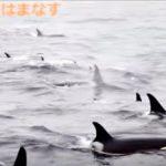 シャチの大群が移動する映像 知床 羅臼 北海道