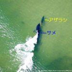 逃げてー!アザラシに接近するホホジロザメ アメリカ マサチューセッツ州