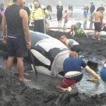座礁したシャチを救出しようとしたが助からず 南タラナキ海岸 ニュージーランド