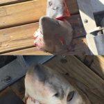 切り刻まれたサメで物議 アメリカ カリフォルニア州
