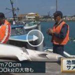 体長2.7m、体重200kgの大物も サメ駆除 沖縄 池間島 2016年3月3~4日まで
