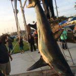 体長約6m 巨大オナガザメが捕獲される アメリカ カリフォルニア