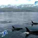 シャチに発信器付け生態調査する映像