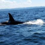 【衝撃】シャチの群れが釣り船を襲う事件発生 カナダ ニューファンドランド島