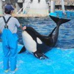 シャチのリン、13日に3歳 名港水族館、まだ授乳頼りもすくすく 中日新聞 2015年11月12日