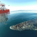 400歳のニシオンデンザメ見つかる 北極海にて