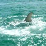サメに追い回され、死にもの狂いのターポンが逃げた先は・・・ アメリカ フロリダ州